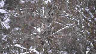 Two Harbors Highlands Great Gray Owl 2