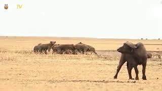 一群非洲鬣狗好不容易猎杀了一条水牛,却被狮王路过抢走了.mp4.mp4