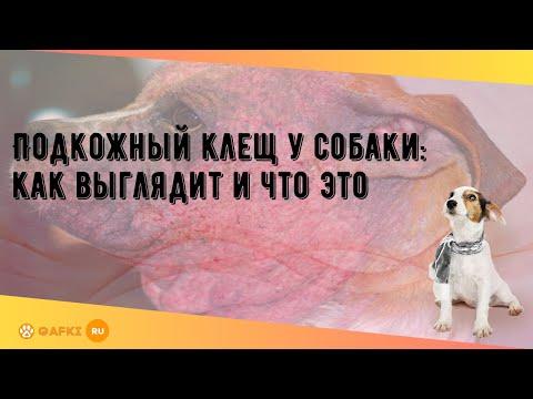Подкожный клещ у собаки: как выглядит и что это