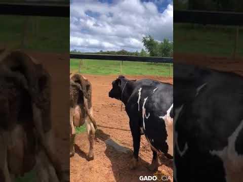 Lote0687 - 30 Vacas Girolando e Holandesas em Bela Vista de Goiás - GO