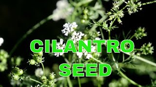 Never Buy Seeds Again - How to Collect Cilantro Seeds