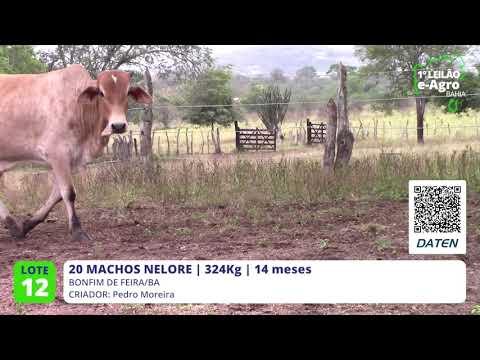 20 MACHOS NELORE - BONFIM DE FEIRA-BA