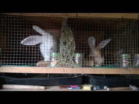 Вечерний обход питомцев,покрыли крольчиху.