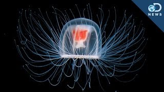 Immortal Jellyfish - Life cycle