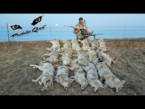 Calling in Multiple Coyotes! 16 Multiple Coyote Kills in One Day!!  Quad Coyotes 4-7!!