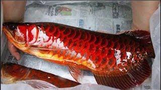 Lão nông bắt được cá rồng 1,6m đỏ như m.á.u, chôn vội không dám ăn vì cực thiêng
