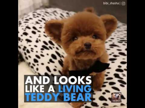 This Puppy Looks Like A Teddy Bear