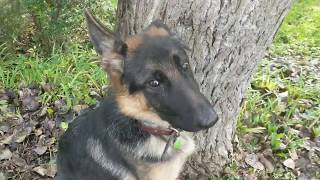 Memphis, 6 Month Old German Shepherd, Leash Reactivity, Puppy Training