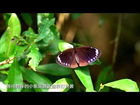 高雄市六龜區 紫斑蝶生態影片(4分鐘)