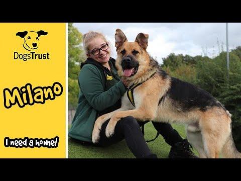 Sweet German Shepherd Milano is Looking For A Home | Dogs Trust Harefield
