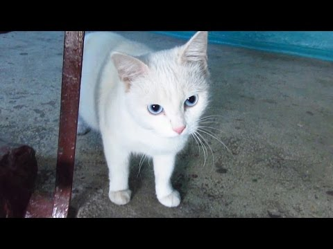 White cat with blue eyes waiting for me