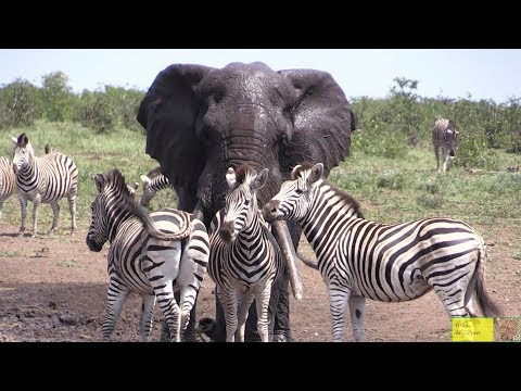 Download Watch Beautiful Elephant And Zebra Friendship HD Mp4 3GP Video and MP3