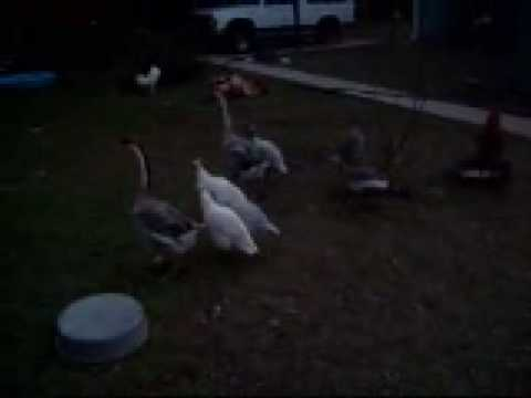 , title : 'Wake Up Waller Texas ! Chickens Ducks Geese Guineas