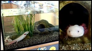 Aquarium Setup: Axolotl Tank (Ambystoma mexicanum) - How to set up an Axolotl Tank