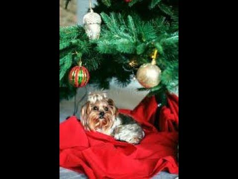 Міні йорк-роздягаєм Новорічну Ялинку 2020/Собака и елка,помощь друга