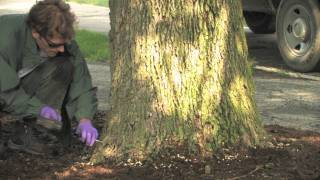 Tree Injection by a Professional Applicator for Emerald Ash Borer