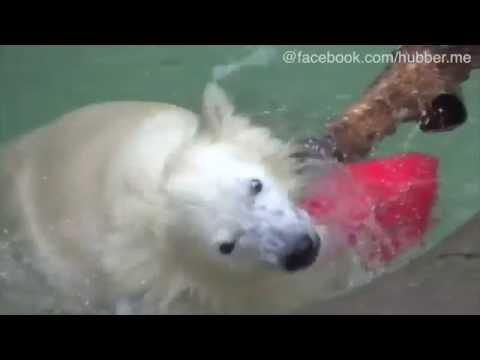 Eisbär Nora sucht Abkühlung im Eiskübel