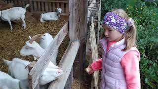 Белые козы на ферме. Дети и животные. Породистые козы.