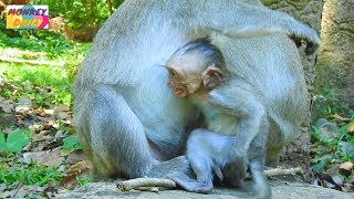 Jade mom pity Micah baby let her milk but baby cry loudly after mom stop her milk|Monkey Daily 840 - Video Youtube