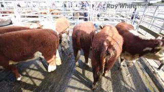 Mount Gambier Cattle Market - 20th July 2016
