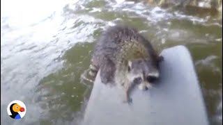 Download Youtube: Guy Swims Across Rapids to Save Raccoon | The Dodo