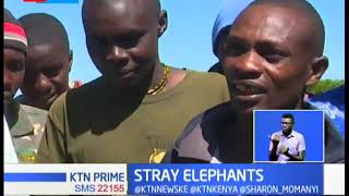 Stray elephants destroys food crops in Nyeri