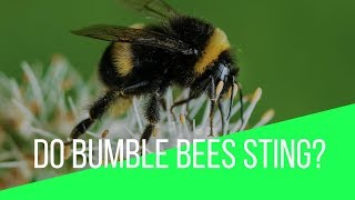 Do Bumble Bees Sting? What Is The Treatment Of Bumble Bee Sting?