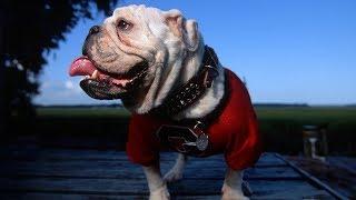 Смешные бульдоги. Порода собак Бульдог.