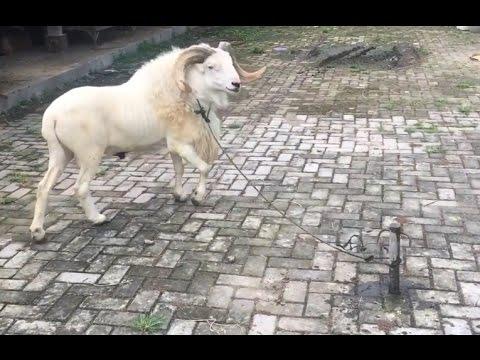 Video Domba Garut - Domba Super - Ternak Domba Super - Cara Ternak - Domba Garut Super