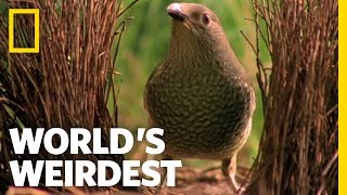 Worlds Weirdest Bowerbird Woos Female with Ring Video
