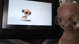 Невероятно! Чихуа хуа смотрит телевизор