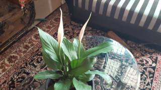How To Grow And Care Peace Lily Spathiphyllum Plant