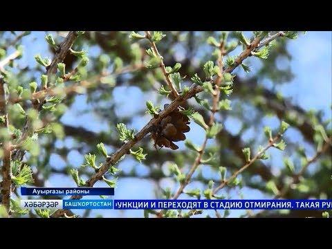 Специальный репортаж: лесовосстановление в лесничествах республики