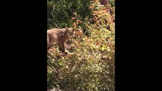 Saw a bobcat near where Fern Truck Trail and Gabrielino Trail meet.