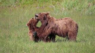 Alaskan Grizzly Cubs Fighting!