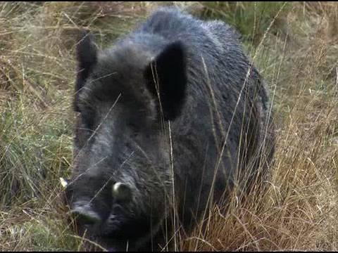Fieldsports Britain – Hunting British wild boar, woodcock bonanza, wildfowling  and Quex Museum