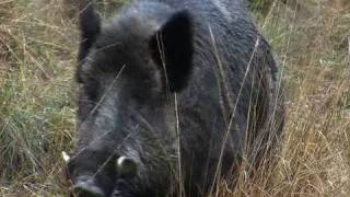 Fieldsports Britain – Hunting British wild boar + woodcock bonanza + Quex Museum – episode 13