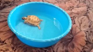Уход за сухопутной черепахой. Для чего надо купать сухопутную черепаху.