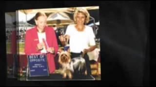 Silky Terrier - Smart Dog Extraordinaire