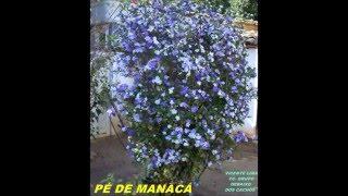 PAULA FERNANDES PÉ DE MANACÁ.