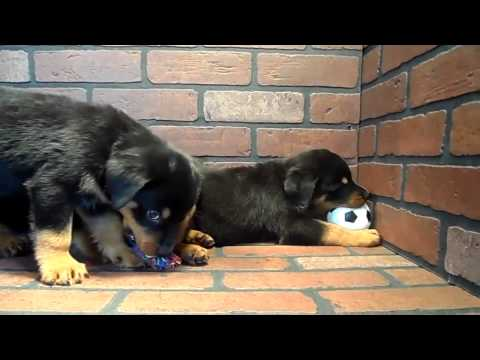Rottweiler Puppies for sale in San Diego
