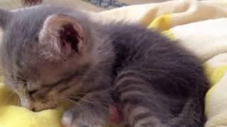 ミルク飲んでゲップして寝る子猫 Kitten Burp   Kholo.pk