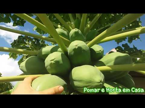 Como fazer o mamoeiro carregar de frutos