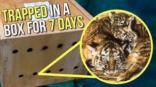 Mysterious Box Stuck In Airport For 7 Days, 3 Illegal Tigers Found Inside