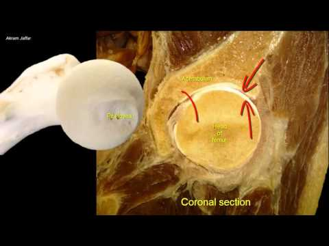 Femoral neck fracture - applied anatomy