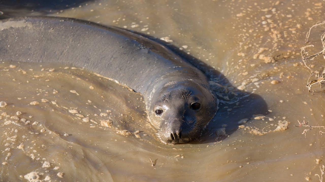 Rescuing California's highway elephant seal thumbnail