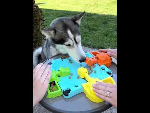 """כלב האסקי חמוד משחק """"היפופוטמים רעבים"""""""