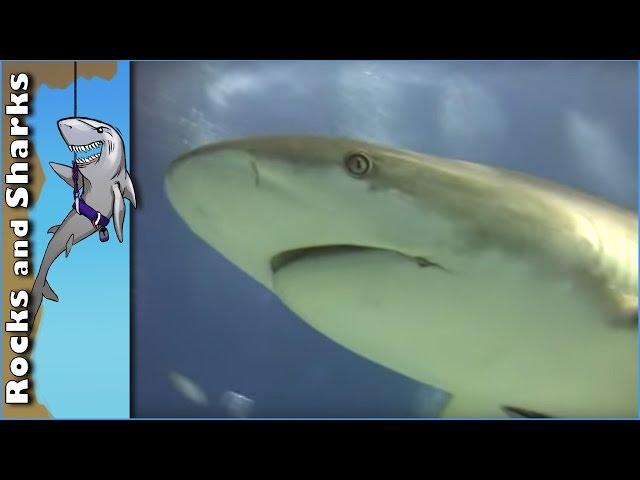 Shark Scuba Dive in Bahamas w/ over 40 Feeding Caribbean Reef Sharks - Stuart Cove's - 2012