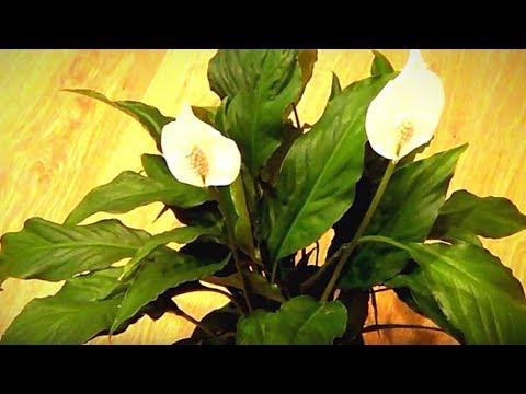 Комнатные растения. Почему у спатифиллума пожелтели листья.