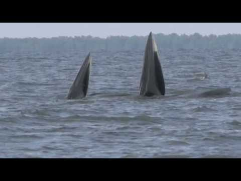 Bryde's whales in the Gulf of Thailand (2012)